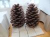 Pine_cone1_2