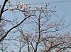 2013_sakura