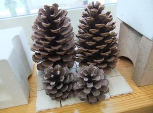 Pine_cone2